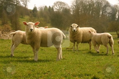 Sheep in a field stock photo, Four sheep in a field in the Cotwolds, England posing for a picture by Jeff Crowe