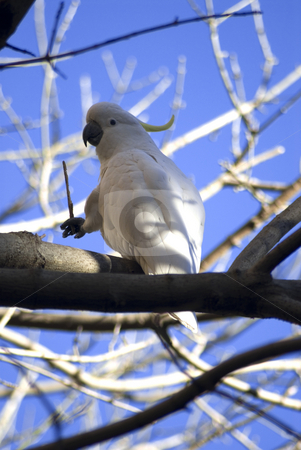 Sulpher crested cockatoo stock photo, A wild australian sulphur crested cockatoo by Stephen Gibson