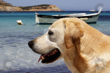 Labrador dog with traditional Corsican fishing boat  stock photo, Labrador dog with traditional Corsican fishing boat in background by Mark Yuill