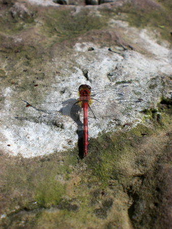 Dragonfly on rock stock photo,  by J.G. Byers