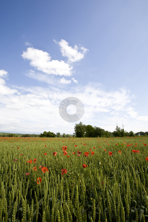 Red poppies growing in field early summer France stock photo, Red poppies growing in field early summer France by Mark Yuill