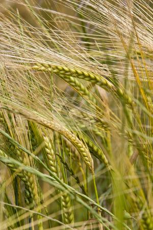 Wheat crop growing in field France stock photo, Healthy wheat crop growing in field France by Mark Yuill