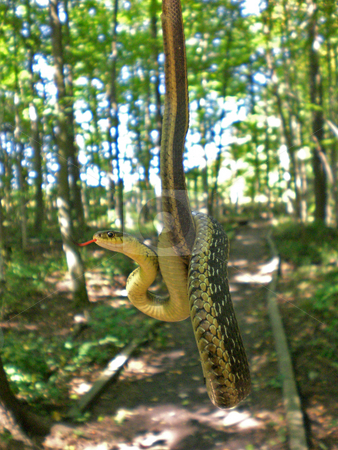 Garter snake stock photo,  by J.G. Byers