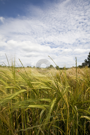 Wheat crop growing in field France stock photo, Healthy wheat crop growing in field France by Mark Yuill