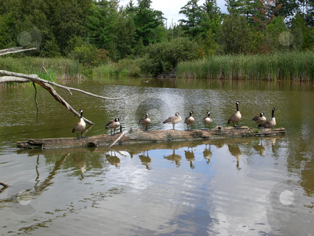 Canada geese lined up on log stock photo,  by J.G. Byers
