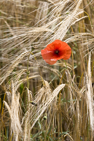Single red poppy in wheat field  France stock photo, A single red poppy in wheat field France by Mark Yuill