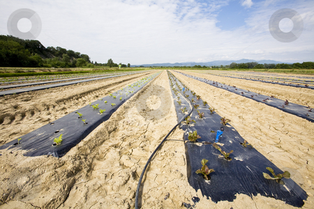 Intensive vegtable farming with water irigation stock photo, Intensive vegtable farming with water irigation France by Mark Yuill