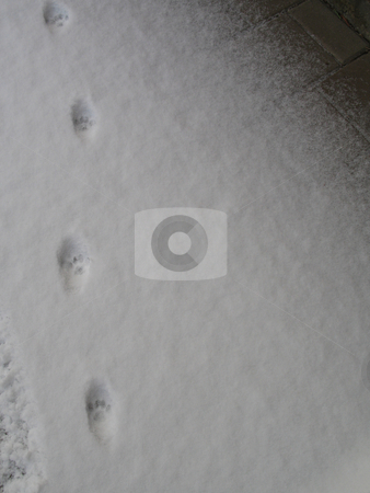 Paw prints in the snow stock photo, Paw prints in the snow by Mbudley Mbudley