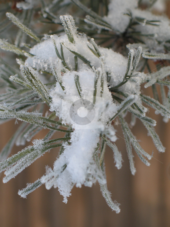 White snow flakes on a tree branch stock photo, White snow flakes on a tree branch by Mbudley Mbudley