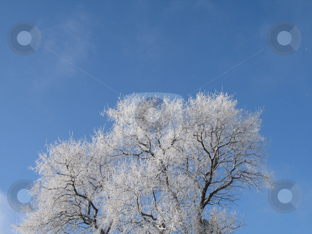 Frosted tree with blue sky stock photo, Frosted tree with blue sky by Mbudley Mbudley