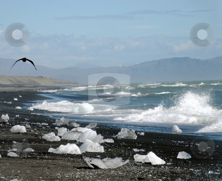 Ice floes on the beach stock photo, coast scene in Iceland, glacier ice and a flying tern on the beach by Wino Evertz