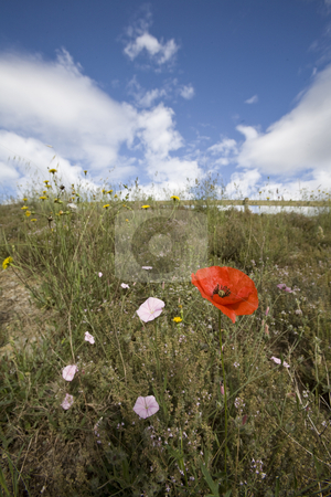 Wild poppy flowers in spring stock photo, Wild poppy and meadow flowers in spring by Mark Yuill