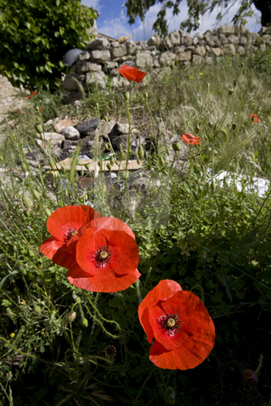 Wild poppy flowers in spring stock photo, Wild poppy and meadow flowers in spring by Mark Yuill