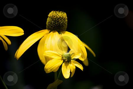 Yellow coneflower stock photo, Close up of a bright yellow coneflower by Lee Barnwell