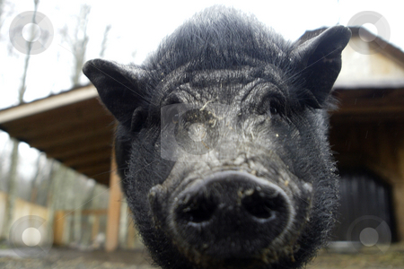 Pot Belly Pig stock photo, February 26, 2004 : A Pot Belly Pig gets up in close hoping to ge ta treat while staying at the Bainbridge Island Animal Sanctuary.  Animals rescued or found injured are taken to this animal sanctuary until a home can be provide in Kitsap County, Washington. by Jesse Beals
