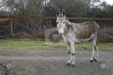 Donkey stock photo, February 26, 2004 : A donkey recoups in a pen after being taken to the Bainbridge Island Animal Sanctuary.  Animals rescued or found injured are taken to this animal sanctuary until a home can be provide in Kitsap County, Washington. by Jesse Beals