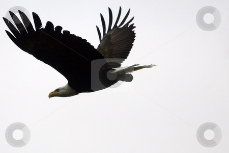 Bald Eagle stock photo, July 4, 2004 :  A fully grown Bald Eagle could be seen flying overs Dyes Inlet around Lions Park in Bremerton, Washington.  Eagles are seen along the shoreline looking for food to eat through out the year. by Jesse Beals