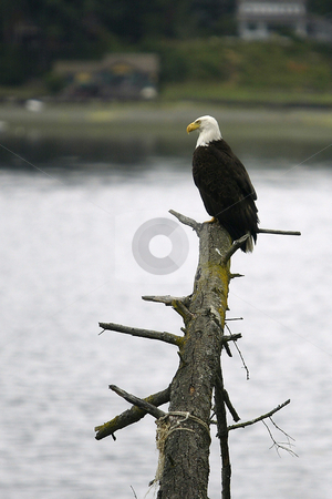 Bald Eagle stock photo, July 4, 2004 :  A fully grown Bald Eagle could be seen resting on a Douglis Fur tree along the shores of Dyes Inlet around Lions Park in Bremerton, Washington.  Eagles are seen along the shoreline looking for food to eat through out the year. by Jesse Beals
