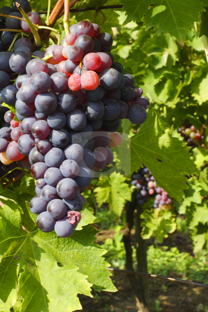 Red grapes ready for harvesting stock photo, Red grapes ready for harvesting by Mark Yuill