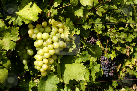 White grapes ready for harvesting stock photo, White grapes ready for harvesting by Mark Yuill