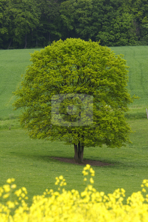 Yellow and green fields stock photo, Yellow and green fields with tree in french countryside by Mark Yuill
