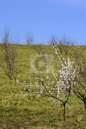 Apple blossom stock photo, Spring apple blossom by Mark Yuill