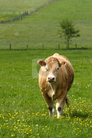 Brown cown stock photo, Brown cow in field eating grass by Mark Yuill