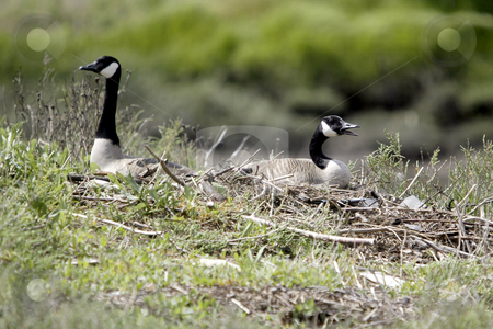 Canadian Geese stock photo, May 11, 2004 :  A pair of Canadian geese keep a watchful eye on there nest of five eggs in Silvedale, Washington.  The Canadian Geese come back ever year to have babies. by Jesse Beals