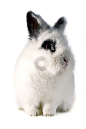 Small Rabbit stock photo, Portrait of one small rabbit by Paulo Resende