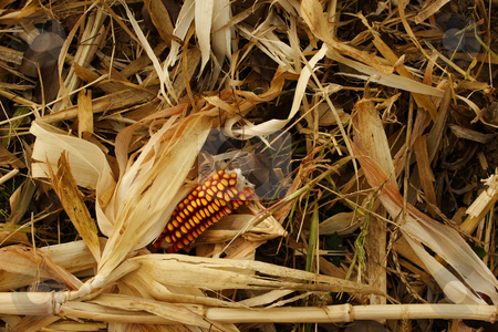 Winter animal feed stock photo, Maize used for winter animal feed by Mark Yuill
