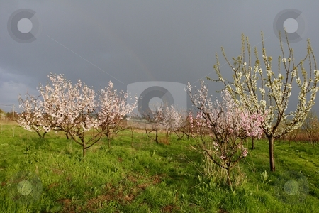 Peach blossom stock photo, Peach blossom in orchard by Mark Yuill
