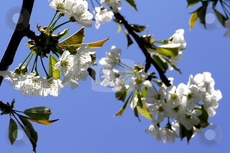 Cherry blossom stock photo, Cherry blossom on tree by Mark Yuill