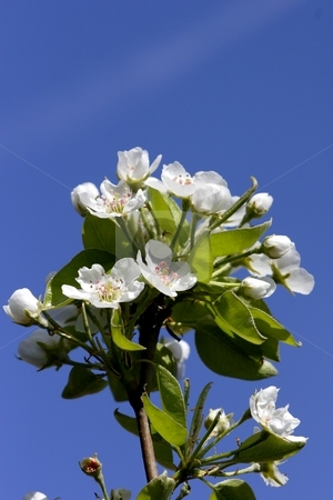 Pear blossom stock photo, Pear blossom on tree by Mark Yuill