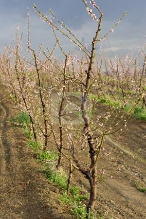 Peach blossom stock photo, Peach blossom in orchard by Mark Yuill