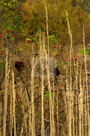 Wild rose hips stock photo, Wild rose hips and long reeds by Mark Yuill