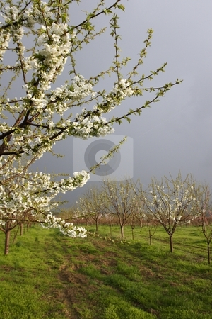 Apricot blossom stock photo, Apricot blossom in orchard by Mark Yuill