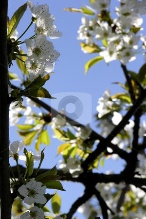 Cherry blossom stock photo, Cherry blossom on tree by Mark Yuill