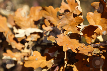 Autumn golden oak leaves stock photo, Autumn golden oak leaves in woodland by Mark Yuill