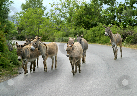 Pack of mules on road stock photo, Pack of mules on road in montenegro by Mark Yuill