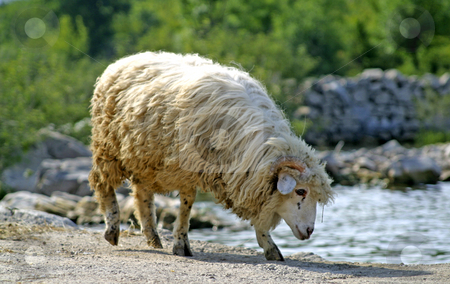 Sheep drinking water from lake stock photo,  by Mark Yuill