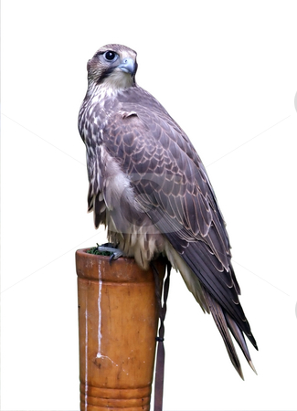 Gray eagle or Harpyhaliaetus coronatus stock photo, Isolated gray eagle or in latin Harpyhaliaetus coronatus by Paulo Resende