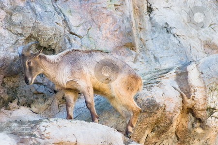 Mountain goat stock photo, Mountain goat on the rocks by Nicholas Rjabow