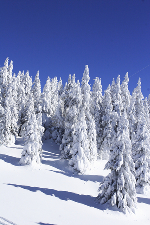 Snow covered pine trees against blue sky stock photo, Snow covered pine trees against blue sky by Mark Yuill