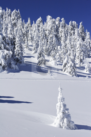 Snow covered pine trees stock photo, Snow covered pine trees on mountain by Mark Yuill