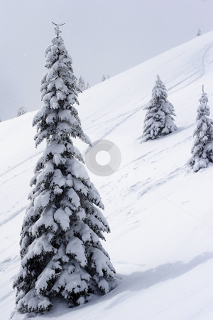 Fir tree with snow stock photo, Fir tree on mountain side by Mark Yuill