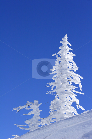 Ice covered tree on mountain stock photo, Wind swept ice covered tree on mountain by Mark Yuill