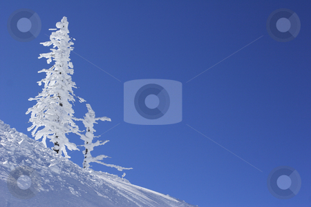 Ice covered pine tree stock photo, Ice covered pine tree against the blue sky by Mark Yuill
