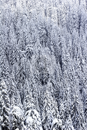Snow covered pine tree forest stock photo, Pine tree forest covered with snow by Mark Yuill