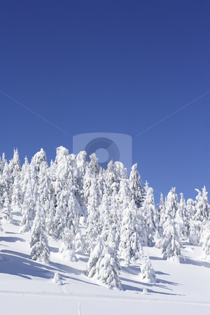 Snow covered pine trees and blue sky stock photo, Snow covered pine trees and blue sky by Mark Yuill