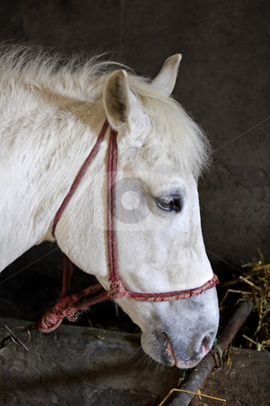 White horse in stable stock photo, White lipizzaner horse with bridle in stable by Mark Yuill
